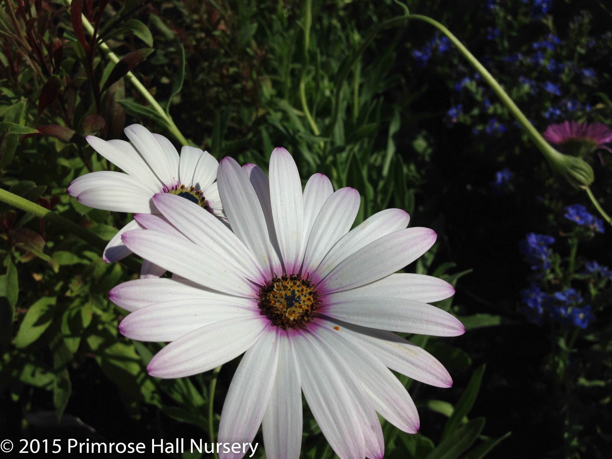 osteospermum 39 lady leitrim 39 agm large 3lt 17cm pot the nurserymanthe nurseryman. Black Bedroom Furniture Sets. Home Design Ideas