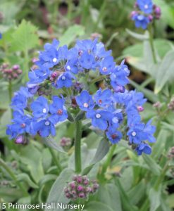 Anchusa capensis 'Blue Angel', Large 3lt (17cm) Pot 1