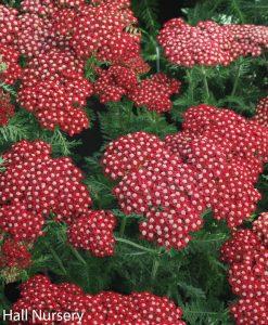 Achillea 'Red Velvet', Large 3lt (17cm) Pot 1