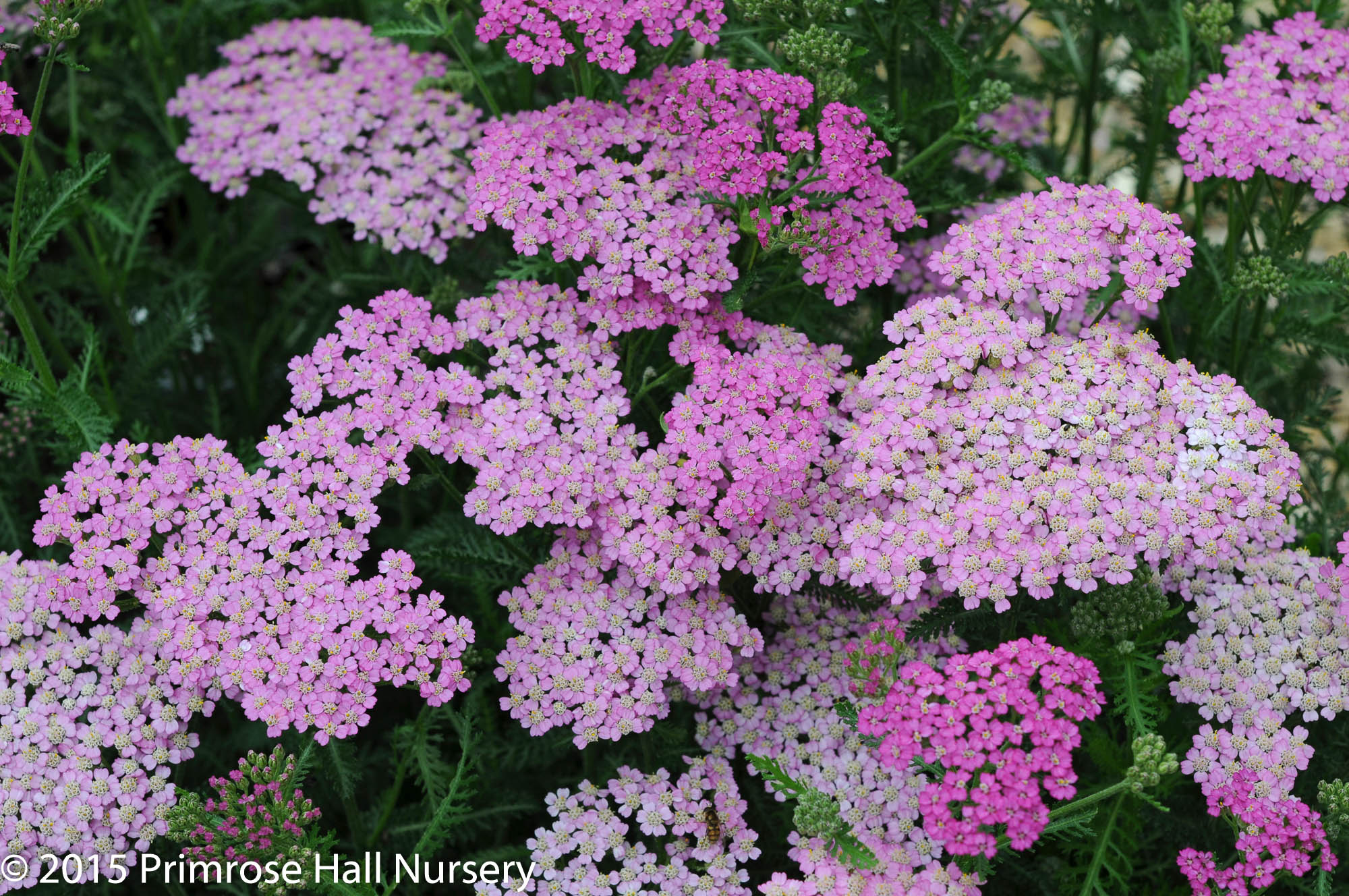 Achillea 'Pretty Belinda', Large 3lt (17cm) Pot 1